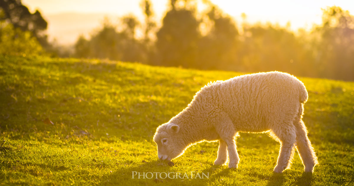 オークランドの羊撮影スポット