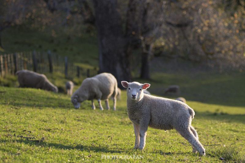 オークランドの羊
