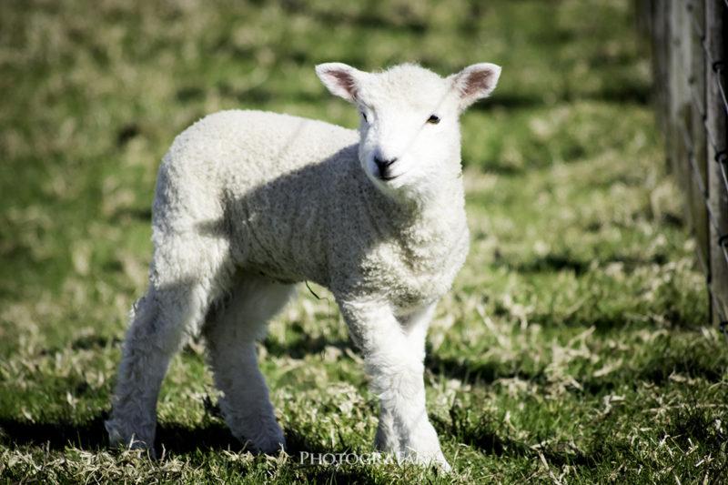 愛くるしい子羊