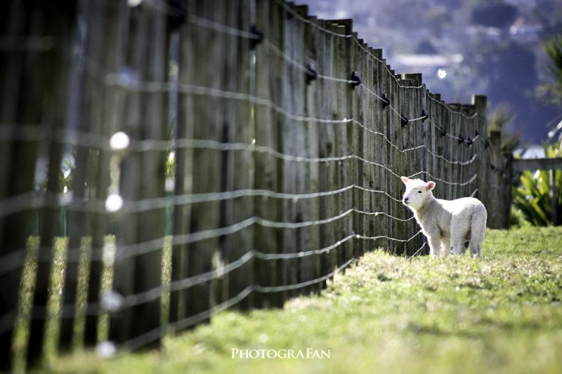寂しそうな子羊