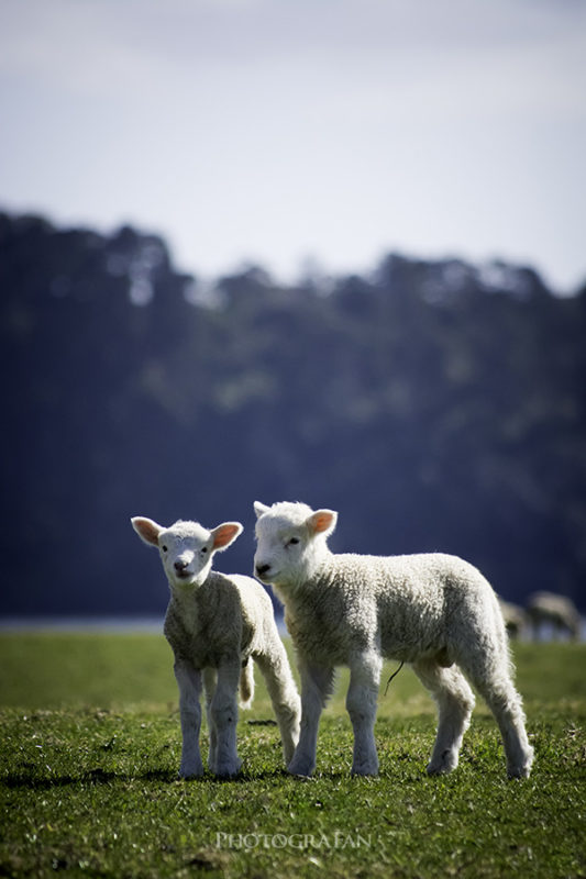 子羊の兄弟