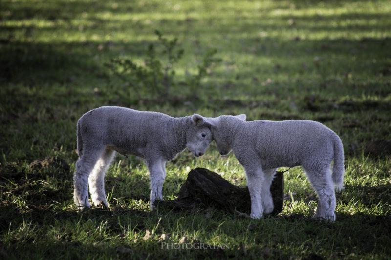 じゃれ合う子羊
