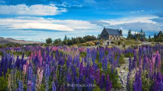 ニュージーランドの春のテカポに咲き乱れるルピナスと天の川
