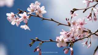 桜を綺麗に撮影する方法!失敗しないカメラ設定、レンズの種類やテクニックなどを紹介