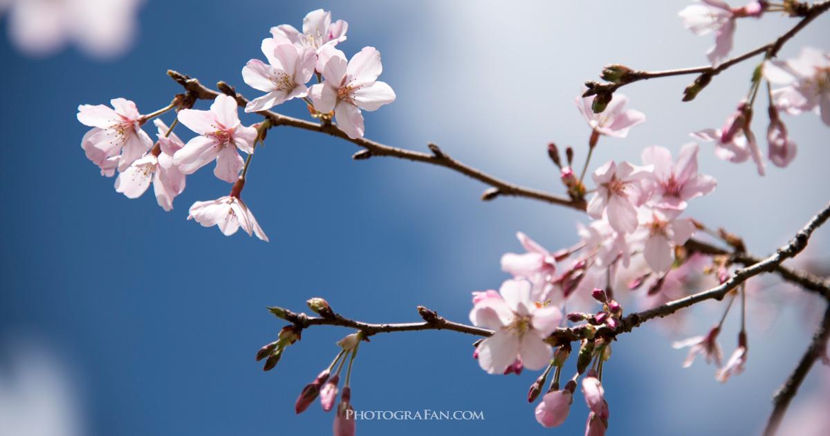 桜の撮影テクニック