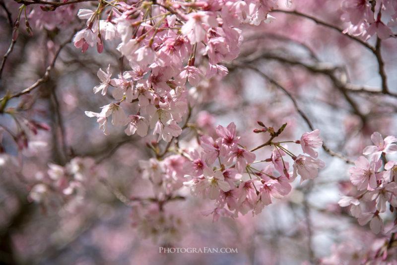 桜撮影の悪い例