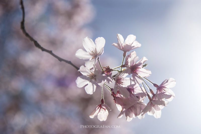 桜を逆光で撮影