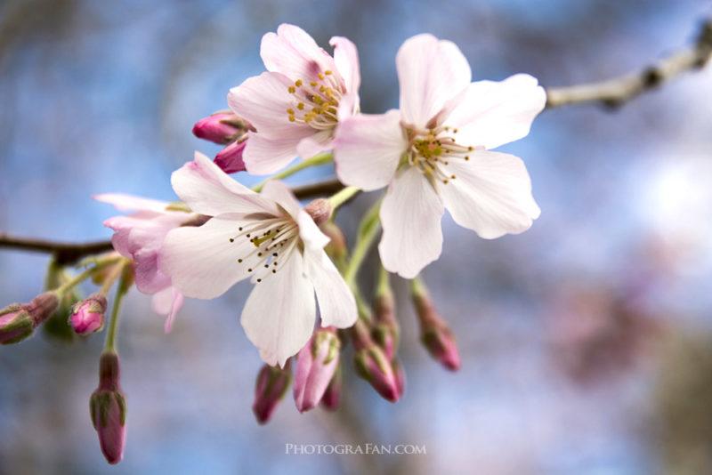 桜をマクロ撮影