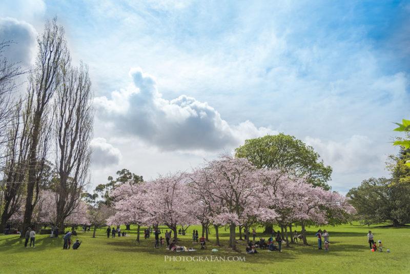広角レンズで桜を撮影