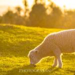 オークランドで羊が撮影できる定番スポット Cornwall Park & Ambury Regiol Park