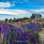ニュージーランドのテカポで天の川&星空と咲き乱れる満開のルピナスを撮影