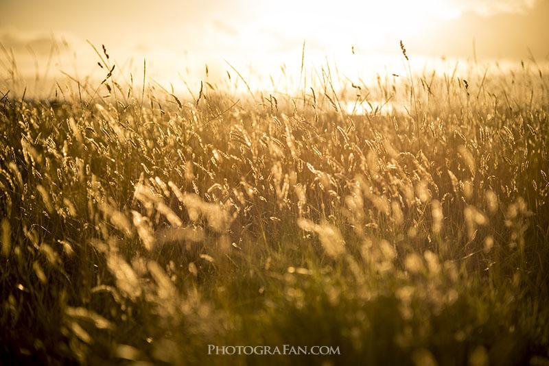 ゴールデンアワーで黄金色に輝く草