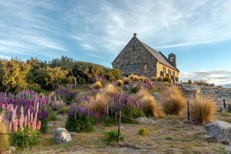 テカポの善き羊飼いの教会と満開のルピナス